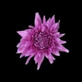 фото хризантема резюме дарк